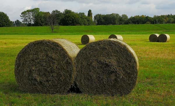 Round bales of organic hay