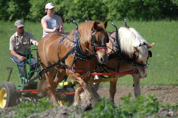 Sylvan Shade Farm team of Belgians